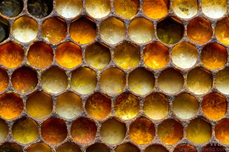 Alex Wild: The various colors of pollen in a honey bee nest indicate different source plant species.