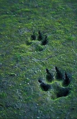 Huellas de lobo