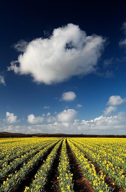 Winter Daffodils in Cornwall, England