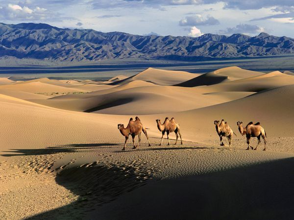 """Gobi Desert. (Photograph by Erdenebayar Erdenesuren, My Shot). #camels #Gobi #desert Bactrian camels make their way across dunes in the Gobi desert, a vast expanse between southern Mongolia and northern China. The world's third largest """"hot"""" desert, the Gobi is home to some of Earth's largest dunes, as well as unique wildlife like the endangered Gobi bear."""