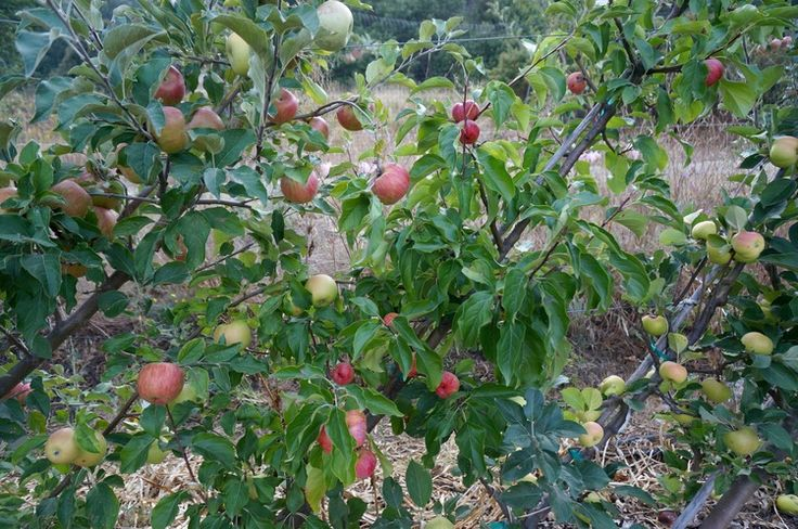 81 Best Images About Garden Fruit On Pinterest Growing