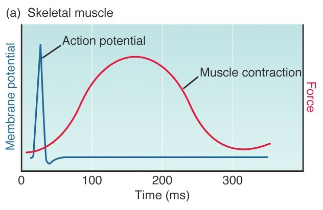 relationship between action potential and muscle contraction video