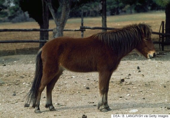 skyros pony