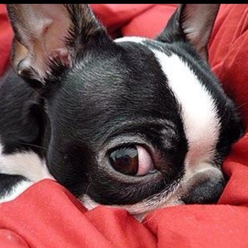 I Got My Eye On You - Boston Terrier Pictures ❤❤❤ from…