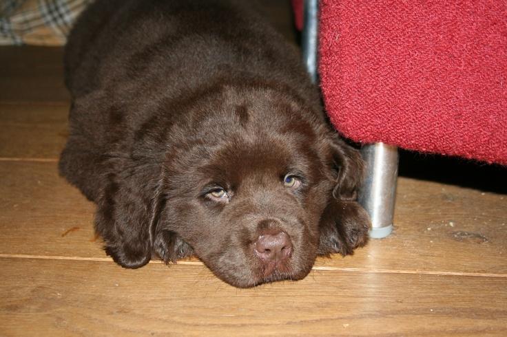 Pup, Marron