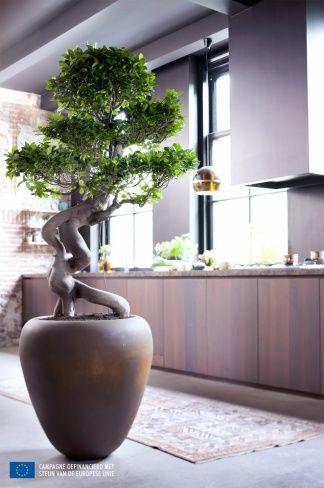 Ficus Ginseng, A Chaque Mois Sa Plante juillet