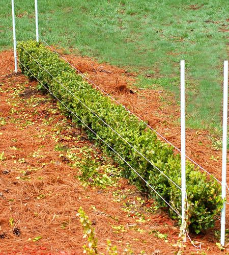 How to trim/shape boxwoods.....I want to plant these in the back yard so I dont have to look at my neighbors yard