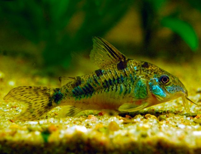 Too gray and drab: Peppered Cory Catfish Corydoras paleatus