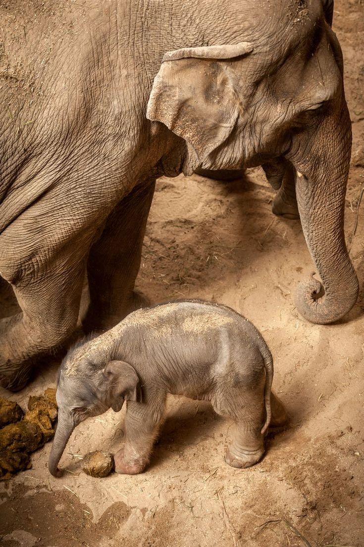 Asian Elephant calf at Planckendael