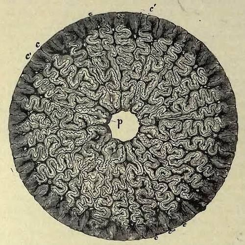 """Horizontal Section of the Tooth of a Labyrinthodont from Professor Richard Owen's """"Odontography"""""""