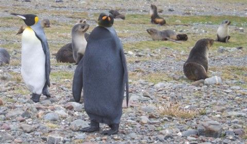 UPDATE: Andrew Evans gives us his report from the field after the jump. SECOND UPDATE: There's been more black penguin sightings by our readers. THIRD UPDATE: Watch a video of the penguin. Wh…
