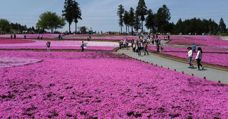 Visitantes passeiam no parque Hitsujiyama, em Chichibu, subúrbio de Tóquio (Japão). As flores atraem turistas e moradores nesta época do ano