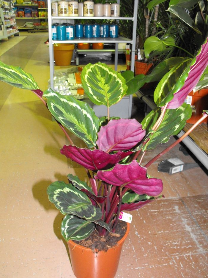 Avast chocolate lily plant reproduction