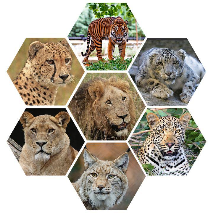 Velké Kočky, Vicious, Divoká, Majestátní