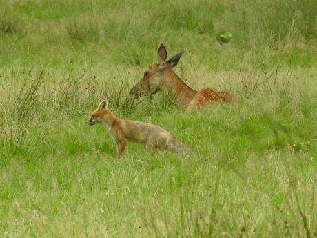 Jonge vos komt op bezoek bij rustende  Edelherten