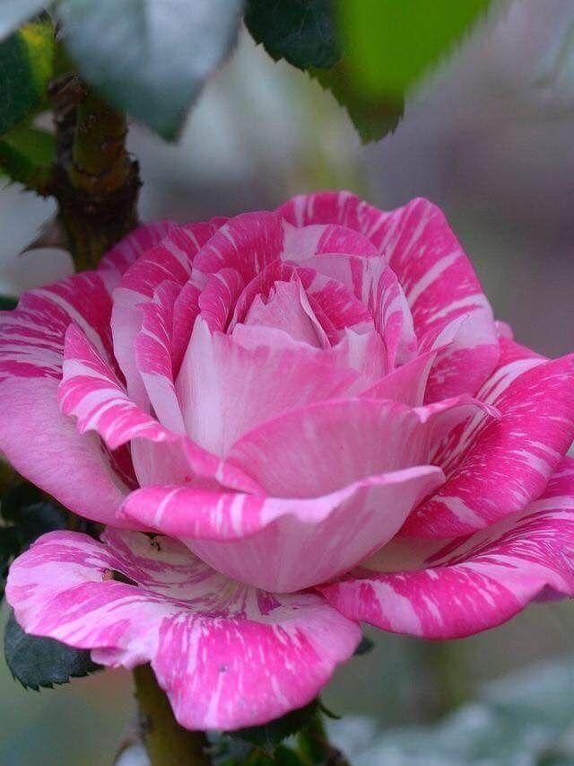 Lovely Pink Rose Beautiful Rose Flowers Wonderful Flowers