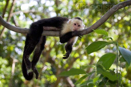 Beautiful PRM 02 KH0001 01   White Faced Capuchin Monkey Hanging On Tree Branch    Kimballstock