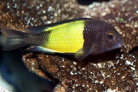"Tropheus Moorii Yellow Banded Kaiser 1"" | AquariumFishSale.com - Live Tropical Fish for Sale!"