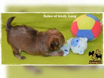Sehr typvoller Chihuahua Bub ist auf der Suche nach seinen Lieblingsmenschen