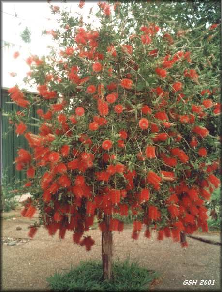 Callistemon Laevis Bottle Brush Tree. I want two right out front.