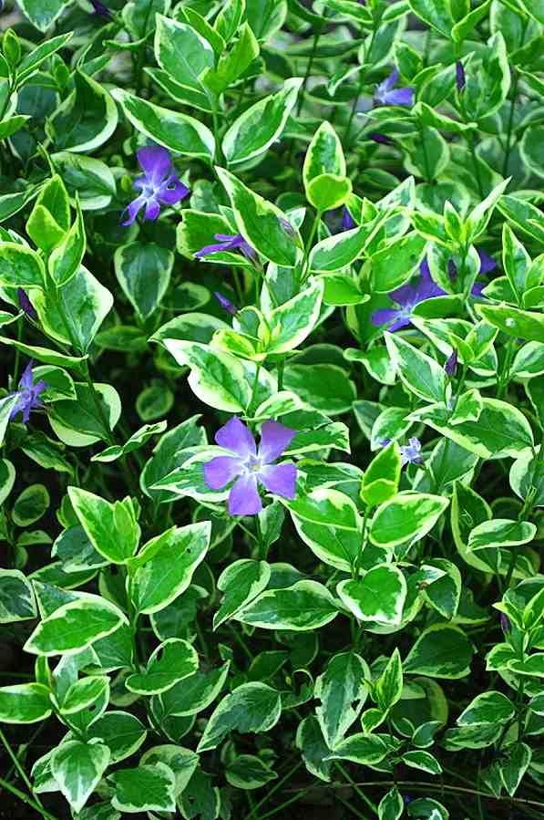 Vinca major (periwinkle) evergreen groundcover for shade plantsfordallas.com #plantsfordallas