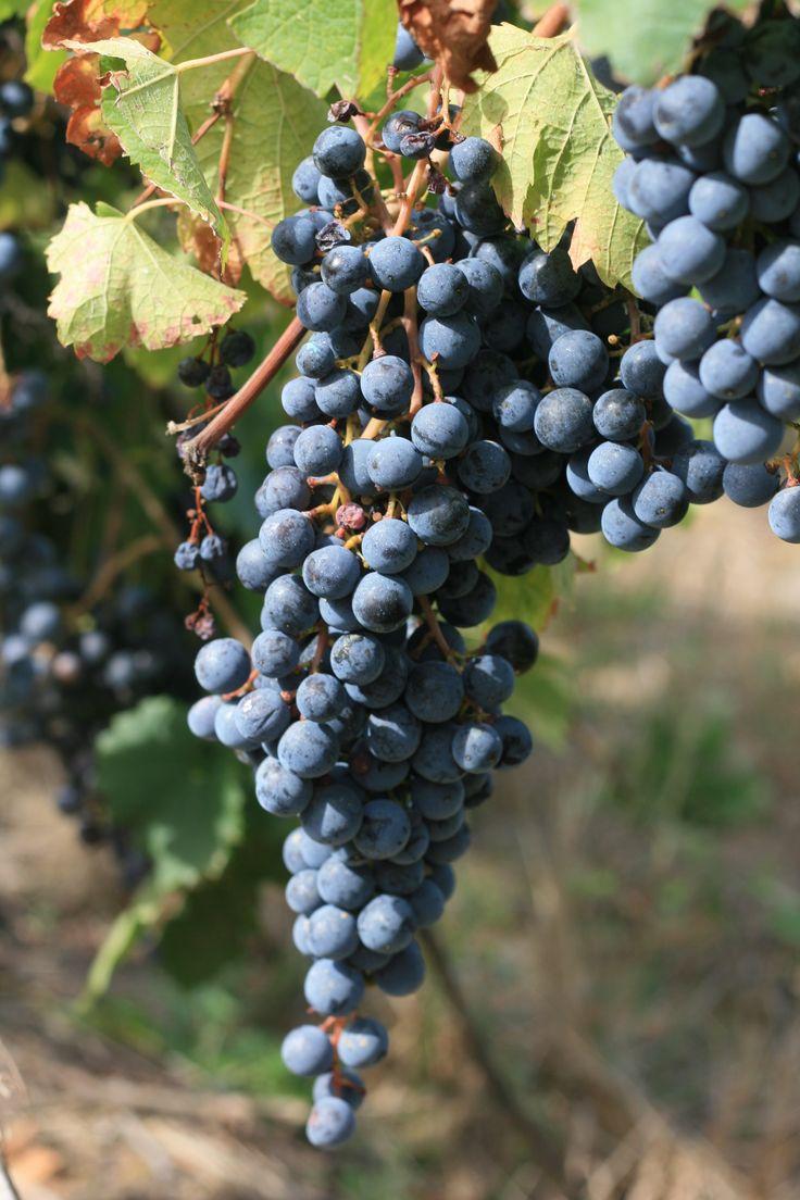 #merlot #redwine #picomaccario #vineyard
