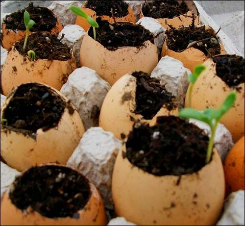 Eggshell seed planters. Start the seeds in an eggshell. The shells are biodegradable, so you can plant the whole thing when you transplant to the garden.
