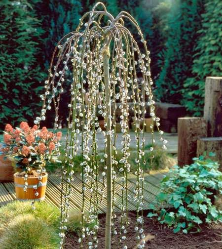 Versatile Ornamental Tree - Bring Home an Early Spring Nothing will add a more dramatic impact to your landscape than the Weeping Pussy Willow. This ornamental tree is compact enough to be planted almost anywhere and will be the focal point of your yard.  It can be pruned to create the size and shape that you desire for...
