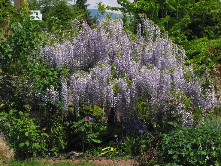 Wisteria tree vs. Wisteria vine ... GREAT blog full of Wisteria info