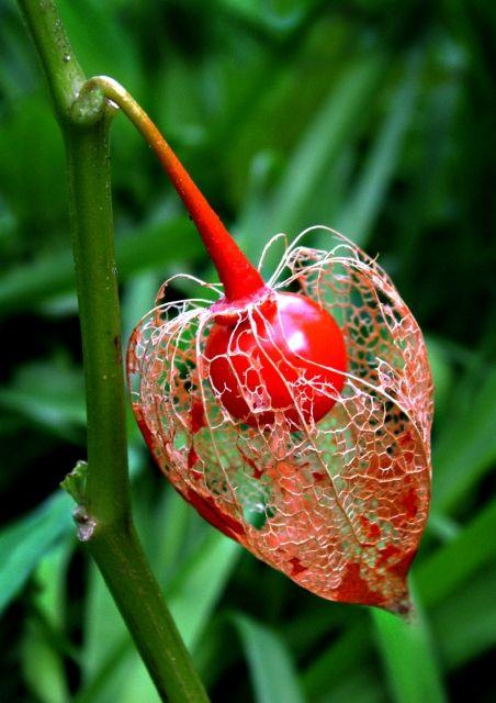 Graine en cagePhotos, Romans Sur, Red Flower, En Cages, Huguette Romans, Beautiful, Seeds Cages, Photos De, Grains En