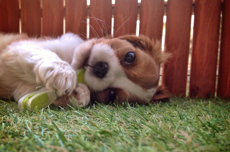 """Charlotte"" King Charles Cavalier laying down on the grass"