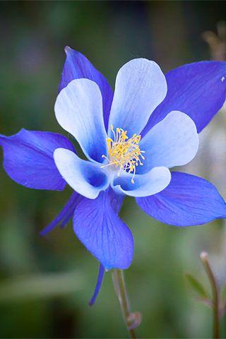 best  watercolour columbines images on   art, Beautiful flower