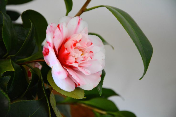 Red and White - Camelia flower - Exhibition in Brunate, Como, Italy.