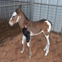 Adorable foal with a somatic mutation. Basically the gene responsible for brown color in that hair was switched off in that area and resulted in black hair. Somatic mutations are not inherited traits.