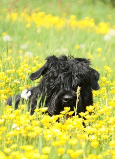 Honden uit onze kennel/ Dogs from our previews litters - Zwarte Russische Terriers from Lukaya's dream