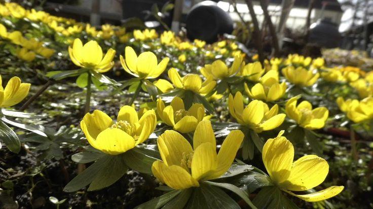 Beautiful Early Blooming Video of Winterling Flowers