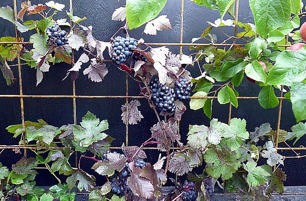 Grapes on steel mesh. In a contemporary sustainable vegetable garden ~ designed by Rach Matthews, HEDGE Garden Design & Nursery