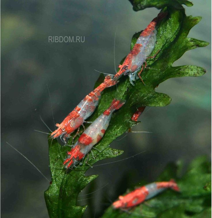 КРЕВЕТКИ :: Креветка КРАСНО-БЕЛАЯ /Caridina sp./Sushi (Red & White) Dwarf Shrimp