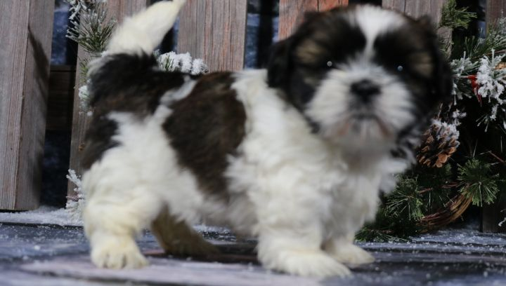 Aww Kate French Bulldog Puppy For Sale In Indiana Vip Puppies Puppies For Sale Puppies Bulldog Puppies