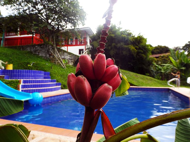Flor roja crece junto a la piscina y adorna la casa. Reservas de alojamiento 3214129517 o email angomera@gmail.com ¿Necesitas fotos como esta para el contenido de tu web? Visita: www.laweb.com.co/contenido-web/