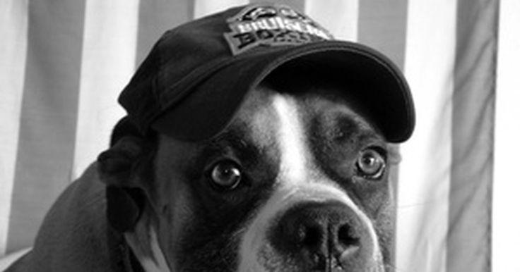 Diferenças entre os cães boxers americano e alemão. Os boxers ficaram populares depois da Segunda Guerra Mundial, quando os soldados trouxeram alguns ao retornarem para suas casas. Eles surgiram a partir do cruzamento do bulldog inglês com os extintos bullenbeisers. São cães de porte médio e, segundo as estatísticas do American Kennel Club de 2009, é a sexta raça mais popular nos Estados Unidos. O ...