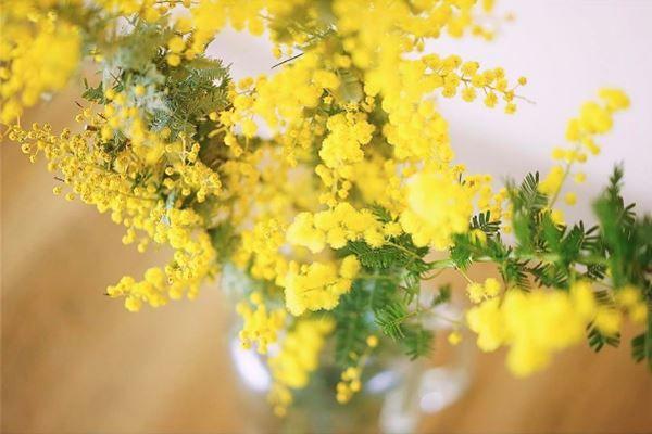 Szemérmes szépség, érintésre zárul. Aranysárga mimóza. Lakásban és kertben is nevelhető a különleges díszcserje