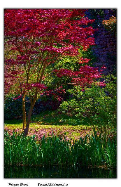 Cherry blossom, Garden of Ninfa, Cisterna di Latina, central Italy