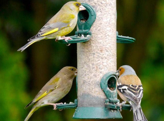 25 best ideas about les oiseaux du jardin on pinterest for Oiseaux de belgique reconnaitre