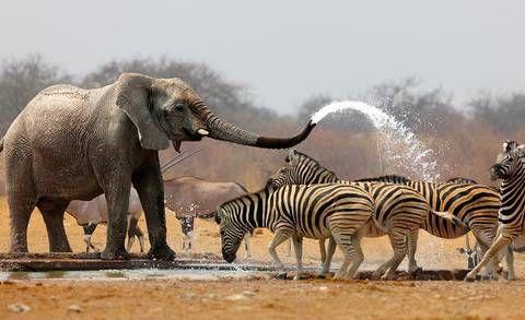Caption Contest: Elephant Showering with Zebras : TreeHugger
