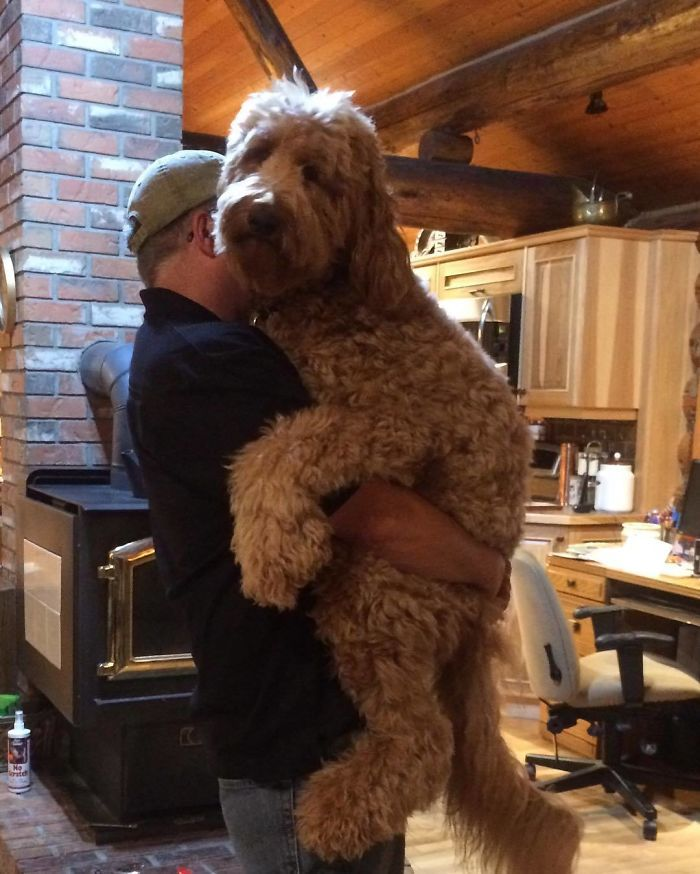 Sometimes It S Good To Just Be A Big Teddy Bear Goldendoodle