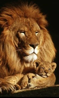 Image result for baby lion tugging on dad