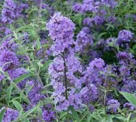 Flutterby™ Petite Blue Heaven dwarf butterfly bush