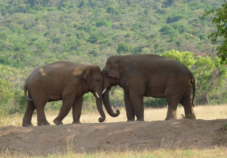 Indian elephants in the Coimbatore Forests, Tamil Nadu. Elephants care for each other and their young- true caring! Learn about empathy. #empathy #inspiration