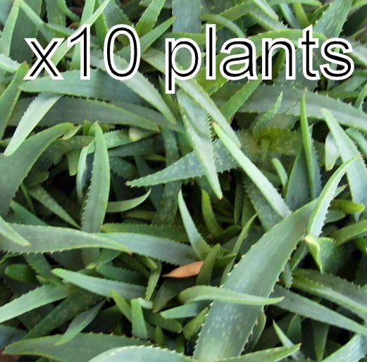 10 Aloe Vera Plants Seeds Baby Trees Organic Bare Root 3-4 Inches from our farm by pickergreece on Etsy